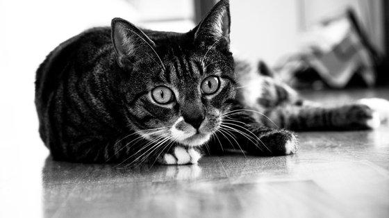 Odchody kota lekarstwem na raka?