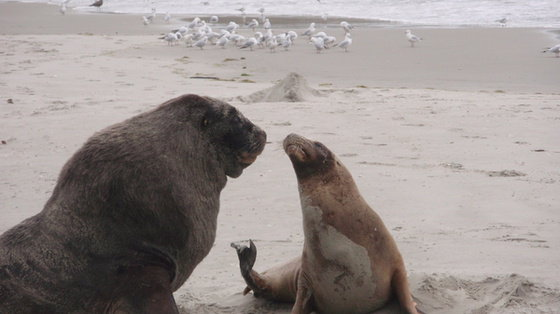 Ptasia grypa zabija foki