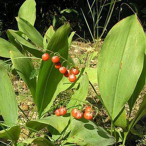 Owoce konwalii majowej - jagody z niebieskimi nasionami