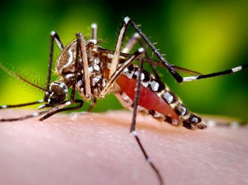 samica komara Aedes aegypti żerująca na człowieku
